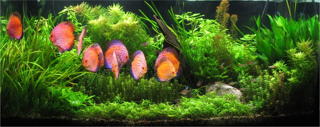 Planted Discus Tank. With some carpet, but more focused on background plant growth.